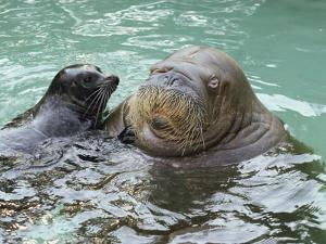 A Walrus Plays Water Games with a Friendly California Sea Lion by Joseph H^ Bailey