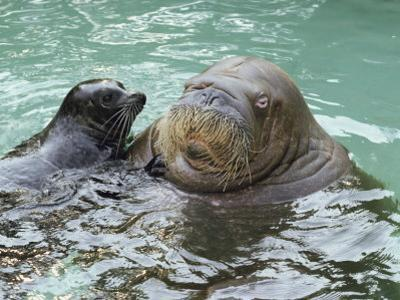A Walrus Plays Water Games with a Friendly California Sea Lion