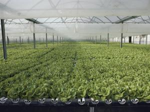 Hydroponic Lettuce is Grown in an Acre of Greenhouse Troughs by Joseph H^ Bailey