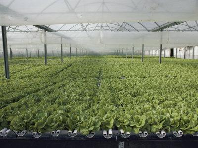 Hydroponic Lettuce is Grown in an Acre of Greenhouse Troughs