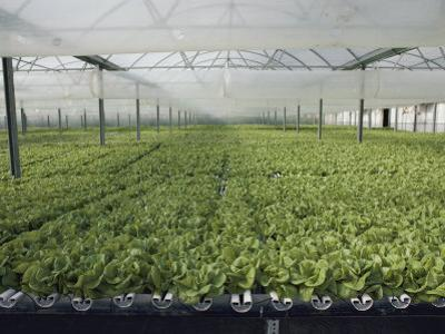 Hydroponic Lettuce is Grown in an Acre of Greenhouse Troughs by Joseph H. Bailey