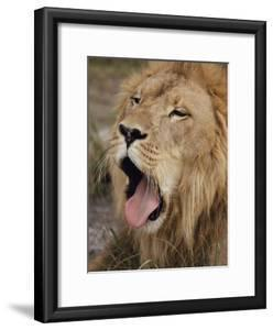 Male African Lion with its Mouth Wide Open by Joseph H^ Bailey