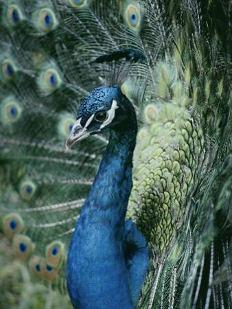 Peacock with its Tail Feathers Spread