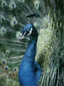 Peacock with its Tail Feathers Spread by Joseph H. Bailey
