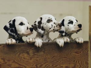 Three Inquisitive Dalmatian Puppies Peeking over a Board by Joseph H^ Bailey