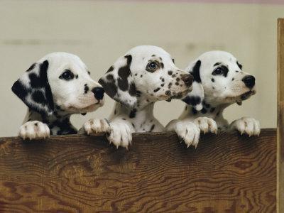 Three Inquisitive Dalmatian Puppies Peeking over a Board