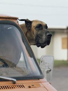 View of a Great Dane Sticking its Head out a Window of a Parked Car by Joseph H^ Bailey