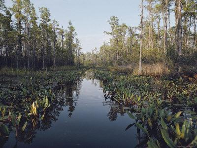View of Black Swamp Water Covered with Water Lilies and Bordered by Cypress Trees