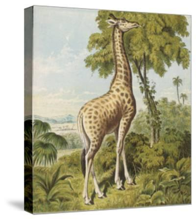 Giraffe Uses Its Dextrous Tongue to Pick off the Leaves from a Very Tall Tree