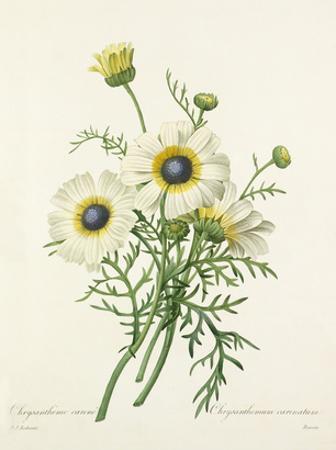Chrysanthéme carené: Chrysanthemum carinatum