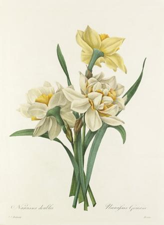 Narcisses doubles: Narcissus Gouani