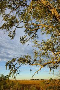 Branches of Live Oak Tree Frame a Marsh Vista by Joseph Shields