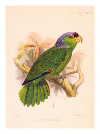 Joseph Smit Parrots Parrot Plate 34-Porter Design-Premium Giclee Print
