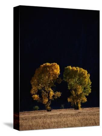 Cottonwoods in Autumn