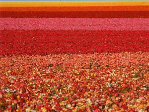 Field of Ranunculus Flowers at Carlsbad Ranch in San Diego, California by Joseph Sohm