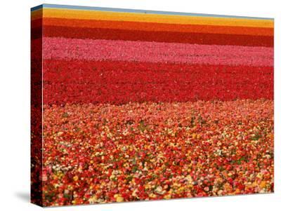 Field of Ranunculus Flowers at Carlsbad Ranch in San Diego, California