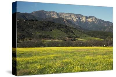Yellow Mustard and Topa Topa Mountains in Spring, Upper Ojai, California, Usa, 04.26.2014