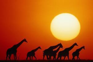 GIRAFFES IN Sunset, MASAI MARA NATIONAL Park, KENYA by Joseph Van Os