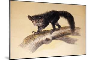 Aye-Aye, 1861 by Joseph Wolf
