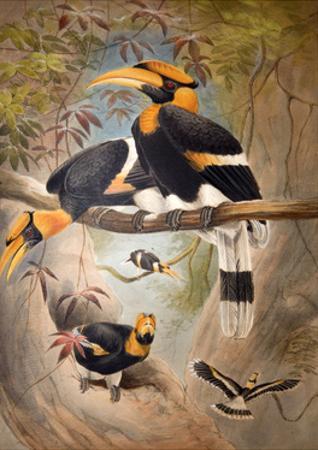 Concave Casque Hornbill, 1861