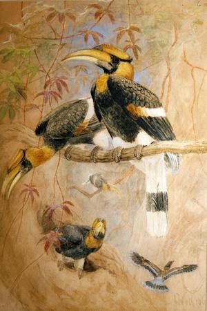 Concave-Casqued Hornbill (Dichoceros Bicornis), 1856-67