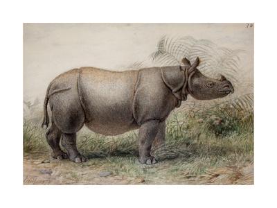 Javan Rhinoceros, 1874