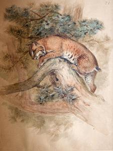 Norwegian Lynx, 1851-69 by Joseph Wolf