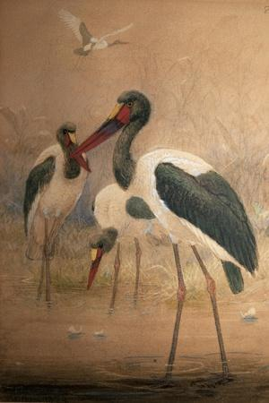 Saddle-Billed Stork (Xenorhynchus Senegalensis), 1856-67