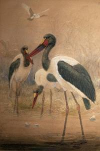Saddle-Billed Stork (Xenorhynchus Senegalensis), 1856-67 by Joseph Wolf