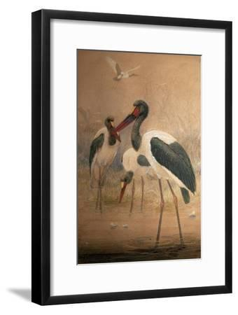 Saddle-Billed Stork (Xenorhynchus Senegalensis), 1856-67