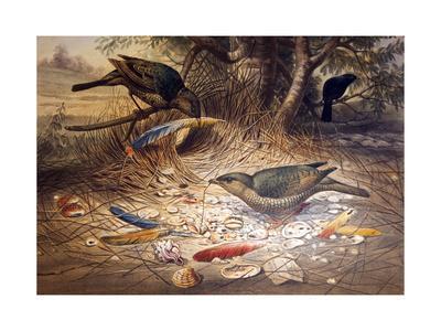 Satin Bowerbird, 1861