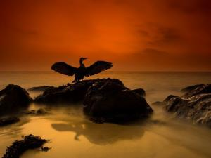 A Cormorant Lands on a Rock on the Cornish Coastline by Josh Exell