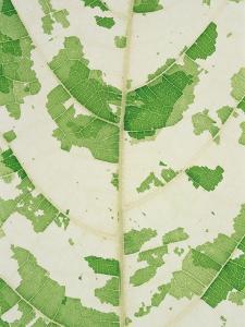 Fig leaf by Josh Westrich