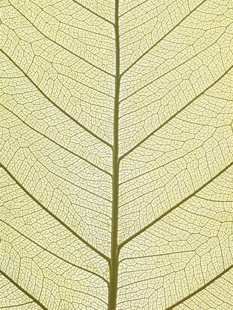Leaf of a Poplar, Macro Shot