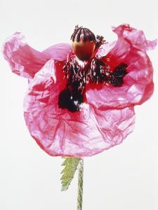 Red poppy blossom by Josh Westrich