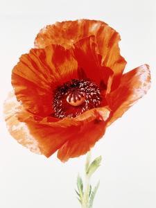 Red poppy by Josh Westrich