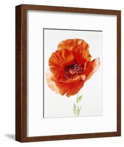 Red poppy by Josh Westrich