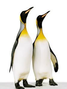 Two king penguins by Josh Westrich
