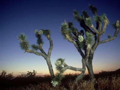 Joshua Tree, California, USA-Olaf Broders-Photographic Print