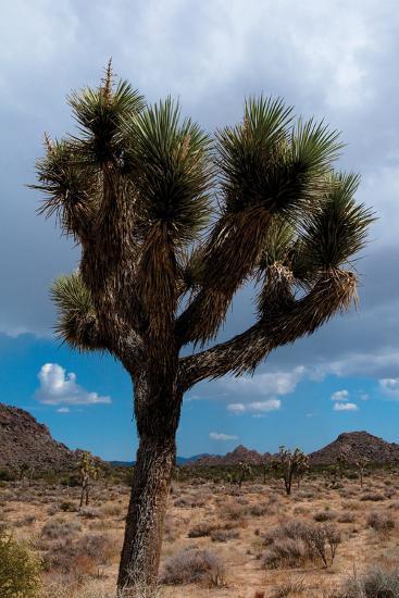 Joshua Tree II-Erin Berzel-Photographic Print