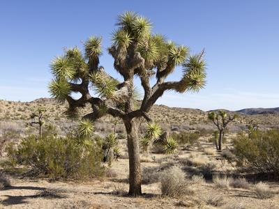 https://imgc.artprintimages.com/img/print/joshua-tree-joshua-tree-national-park-california-usa_u-l-phapap0.jpg?p=0