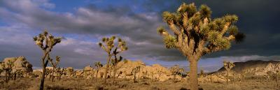 Joshua Tree National Park, California, USA--Photographic Print