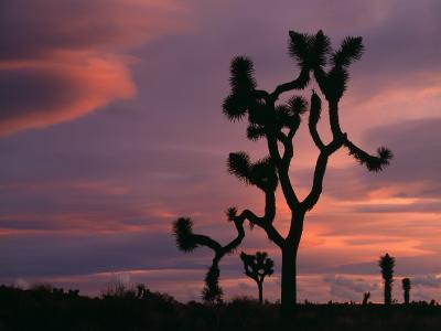 Joshua Tree (Yucca Brevifolia) Silhouetted Against a Sunset Sky, Joshua Tree National Monument-Jeff Foott-Photographic Print