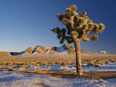 Joshua Trees at Darwin Plateau Covered with Snow after Winter Storm-Witold Skrypczak-Photographic Print