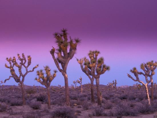 Joshua Trees At Sunrise Mojave Desert Joshua Tree National