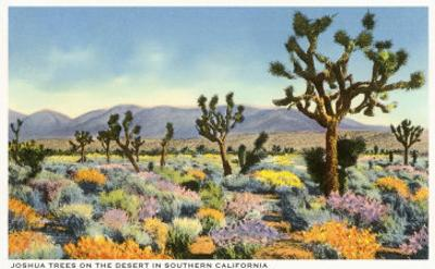 Joshua Trees in Desert, California