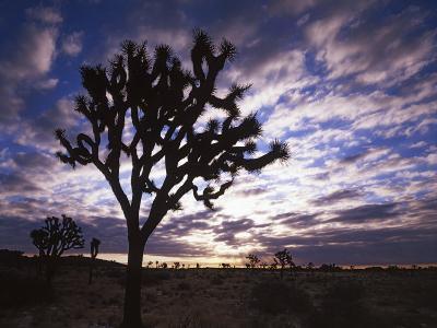 Joshua Trees, Joshua Tree National Park, California, USA-Charles Gurche-Photographic Print