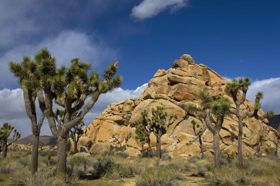 Joshua Trees, Queen Valley, Joshua Tree National Park, California, USA-Charles Gurche-Photographic Print