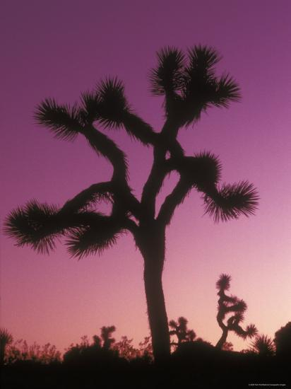 Joshua Trees with Colored Gel, California-Rich Reid-Photographic Print