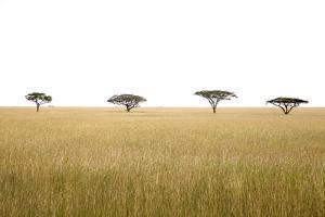 Acacia Tree (Acacia Sp) in Serengeti National Park by JoSon